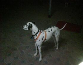 Dalmation dog available for rehoming - emapia.com
